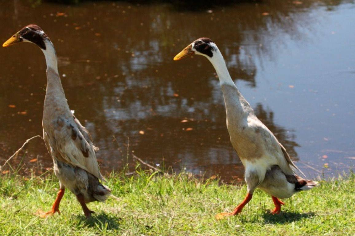 Утка индийский бегунок или «пингвинка»: особенности ухода, разведение, отзывы