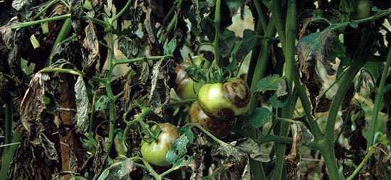 Эффективная борьба с фитофторой на помидорах в теплице: 3 метода