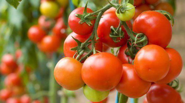 Универсальный, урожайный, скороспелый и так горячо любимый дачниками томат «сибирское чудо»