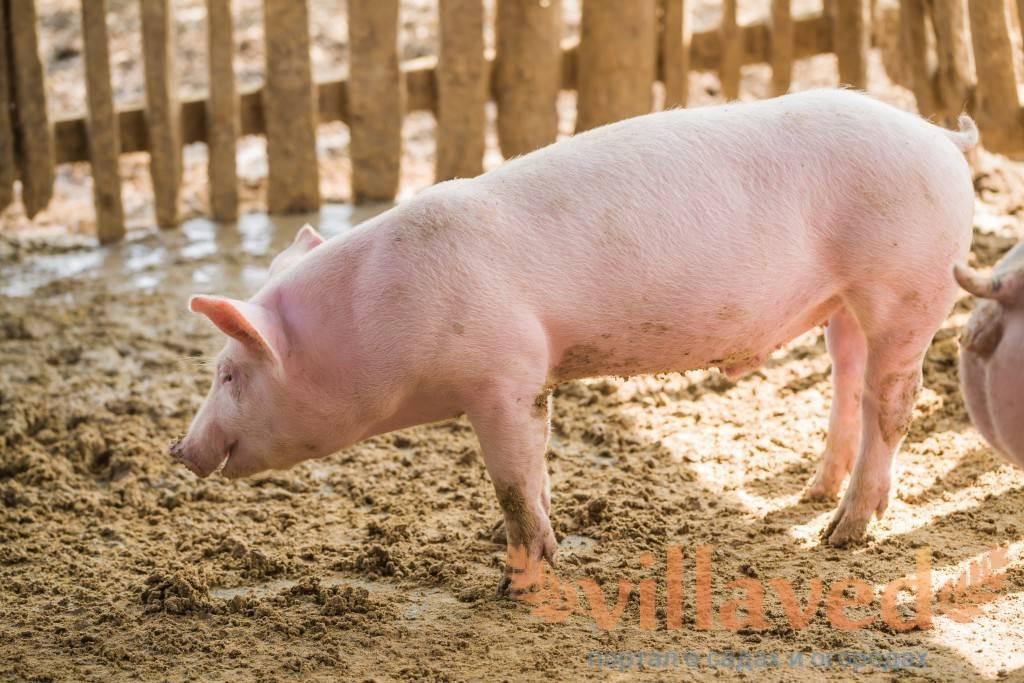 Крупная белая свинья — характеристика, фото и описание, условия содержания, перспективы разведения. | cельхозпортал