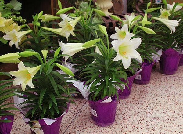 Комнатные лилии (51 фото): названия домашних цветков в горшках. что делать после того, как отцвела луковичная лилия? как ухаживать в домашних условиях?