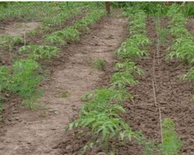 Схема посадки баклажан в открытый грунт