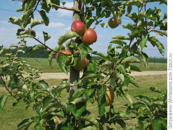Где растет яблоня, сколько раз в жизни и когда плодоносит