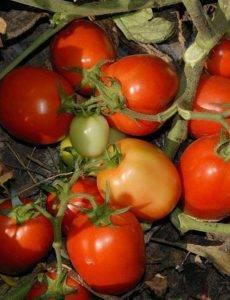 Томат чибли f1 — описание сорта, фото, урожайность и отзывы садоводов