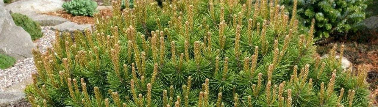 Горная сосна пумилио: виды сосны, описание, посадка и уход, особенности выращивания