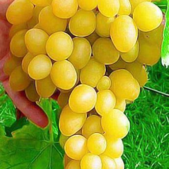 Виноград светлана: описание сорта, выращивание и уход, фото