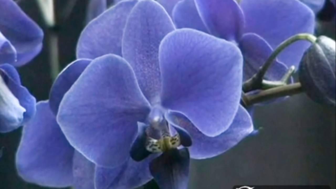 Королевская орхидея (24 фото): описание больших орхидей фаленопсис, выращивание гигантских цветов, самые крупные орхидеи в мире