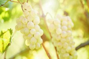Описание и характеристики сорта винограда шардоне, зимоустойчивость и требования к выращиванию
