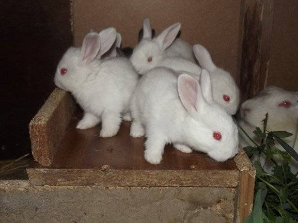 Роды крольчихи: чем кормить кормящую крольчиху после окрола - kotiko.ru роды крольчихи: чем кормить кормящую крольчиху после окрола - kotiko.ru