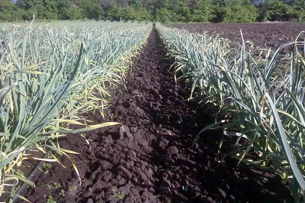 Особенности посадки и выращивания чеснока любаша