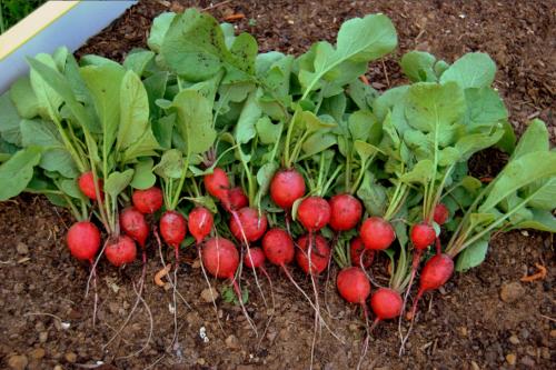 Как правильно сажать и выращивать редиску: собираем отменный урожай до пяти раз за год