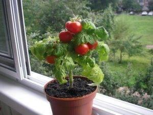 Томат таис: характеристика и описание сорта, урожайность с фото