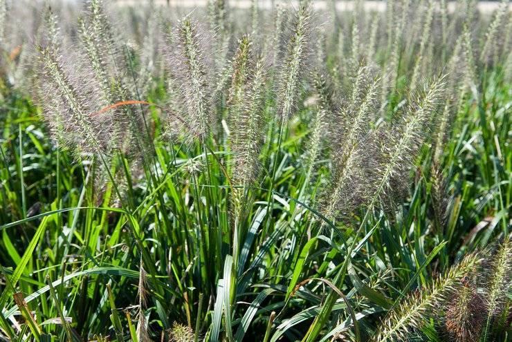 Описание растения пеннисетум (перистощетинник) лисохвостный, его посадка и уход