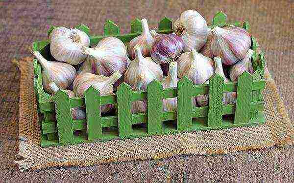 Выращивание чеснока в открытом грунте: озимые и яровые сорта