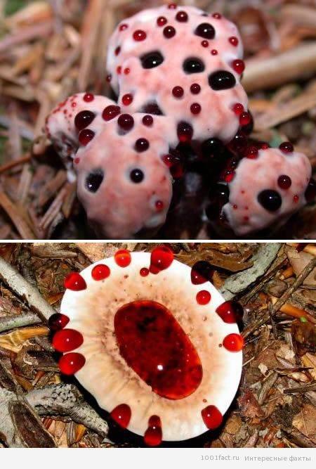 Что за гриб «кровоточащий зуб» и можно ли его есть? | природа | общество