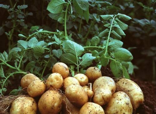 17 способов посадки картофеля