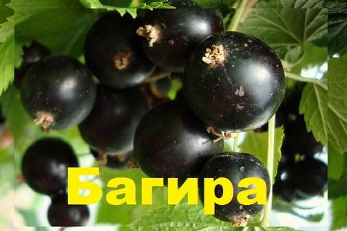 Чёрная смородина багира