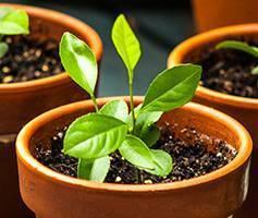 Выращивание в домашних условиях апельсинового дерева из косточки и дальнейший уход за ним