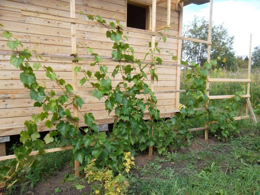 Посадка саженца винограда осенью: правила, сроки, схемы, уход
