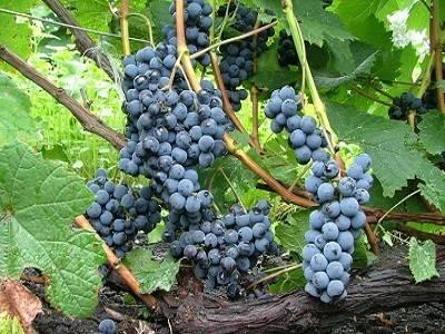 Виноград альфа: описание и характеристики сорта, выращивание, способы размножения