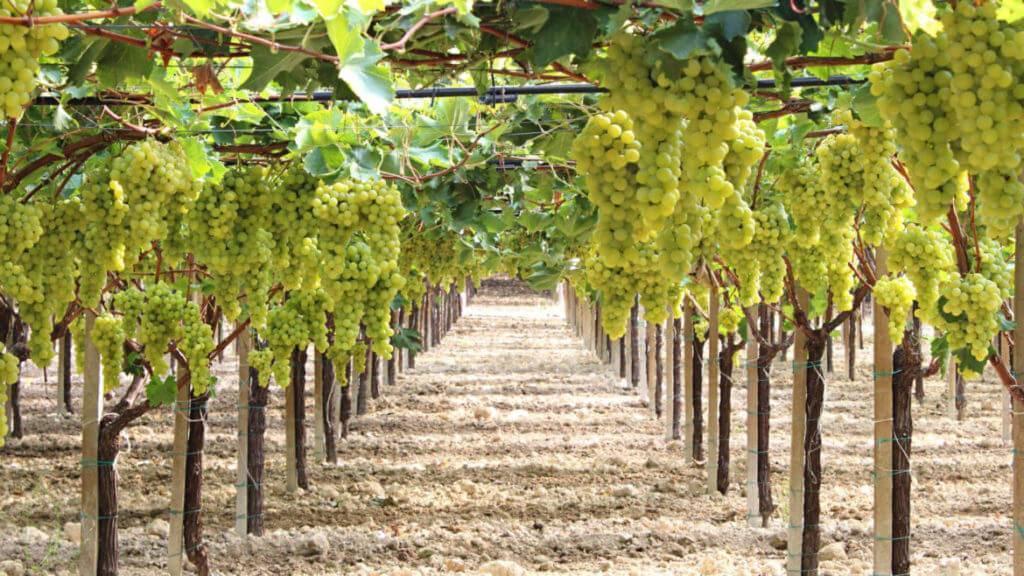 Полив винограда: когда, как и сколько?