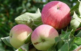 Яблоня «мельба»: описание сорта, достоинства и недостатки