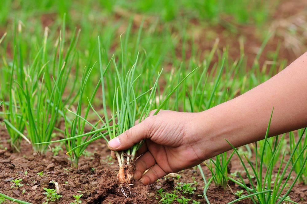 Лук на зелень: посадка и уход в открытом грунте