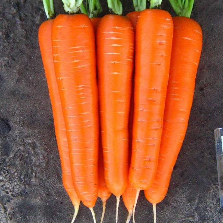 Лучшие сорта моркови для сибири | вырасти сад!