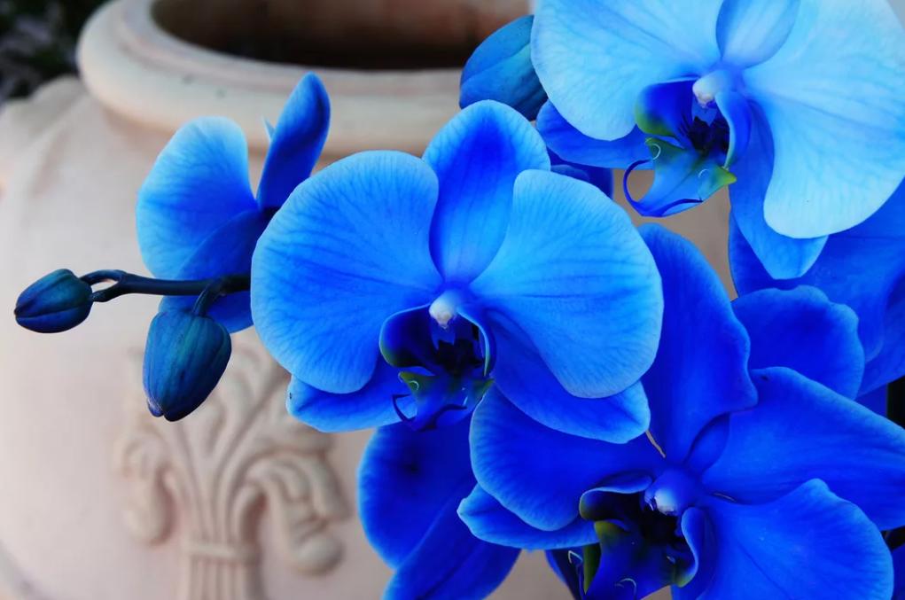 Сорта фаленопсисов: biondoro, black pearl, блю, будда, как выращивается орхидея, описание с фото