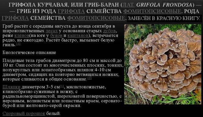 Гриб баран (грифола курчавая): как растет, когда собирать, польза и вред, лечебные свойства