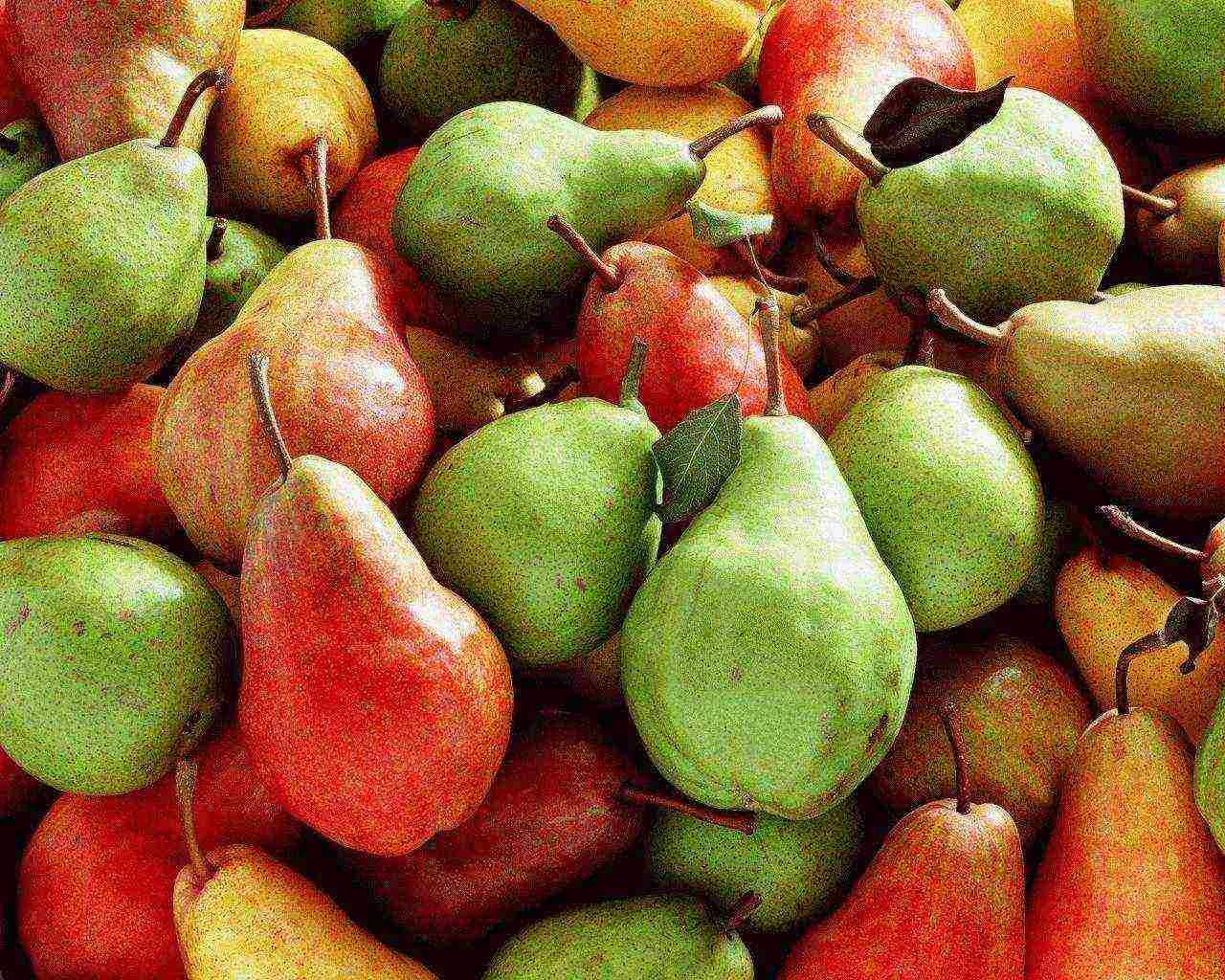 Летние сорта груш: лучшие сорта для разных регионов с фото