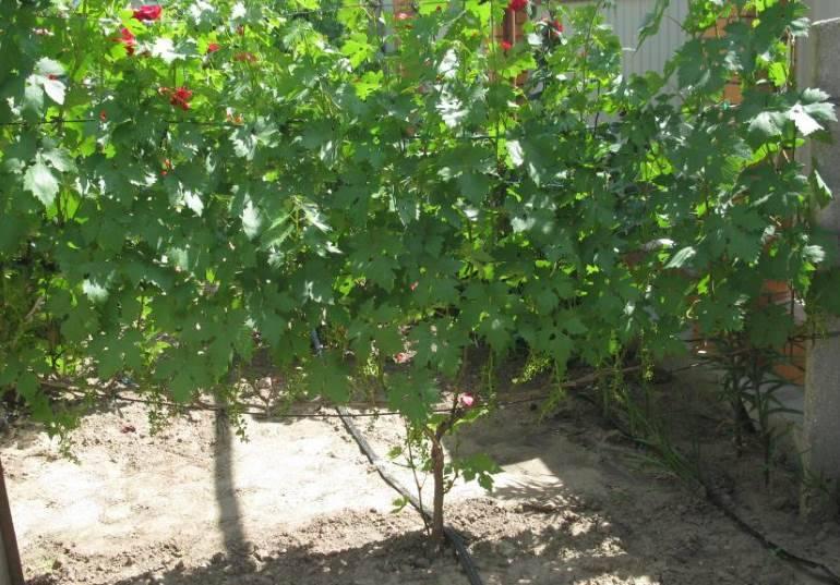 Виноград эверест- описание сорта, правила посадки и выращивания