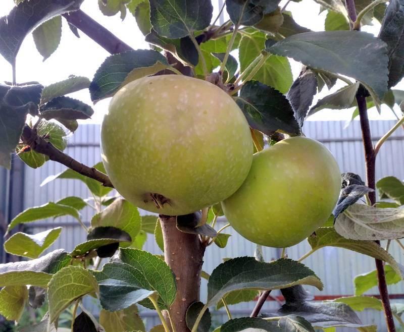 Мартовское — описание сорта яблок длительного хранения