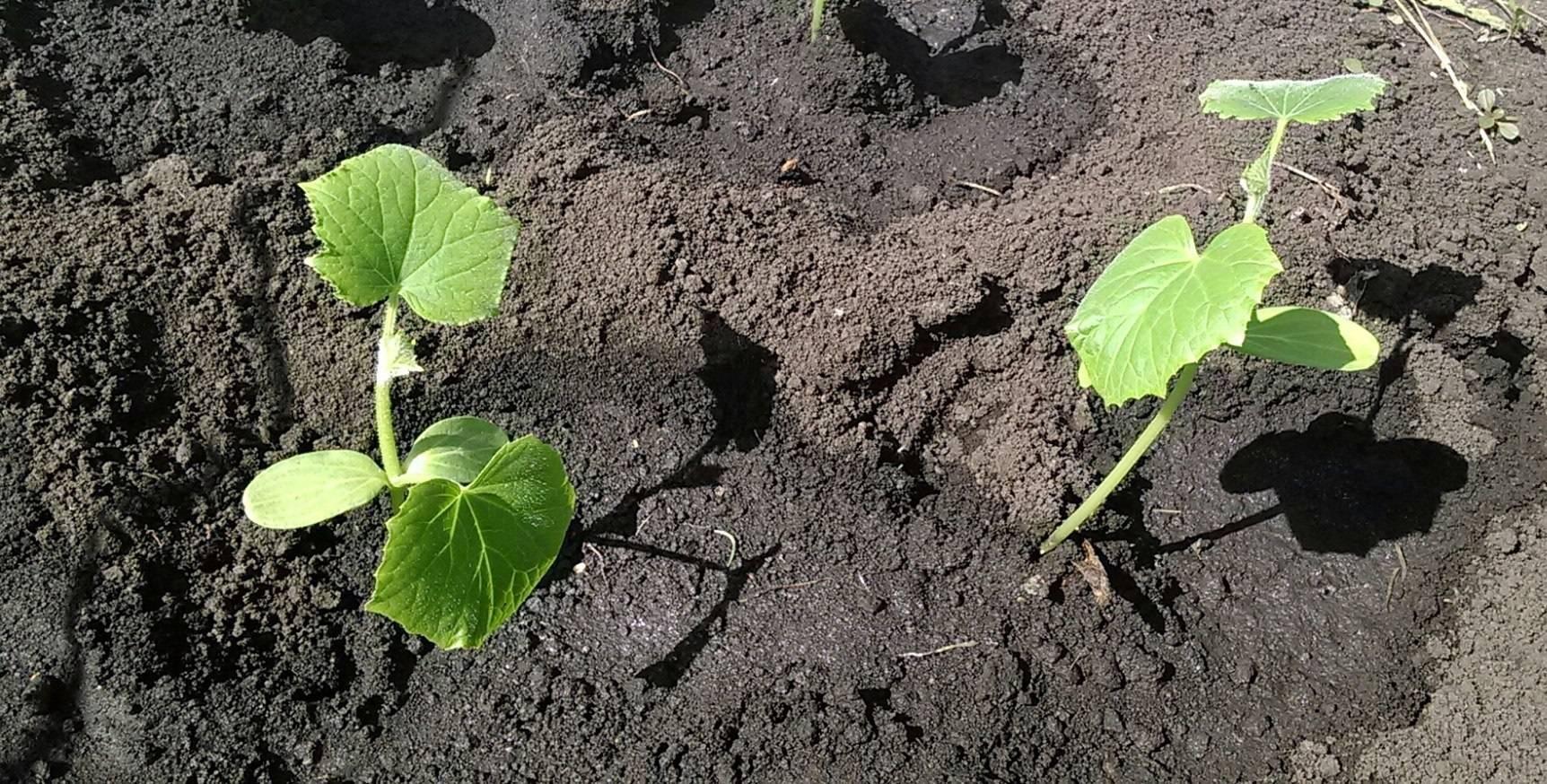 Подкормка огурцов в открытом грунте: схемы и способы | домашняя ферма