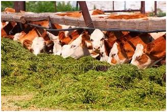 Правильный откорм крупного рогатого скота