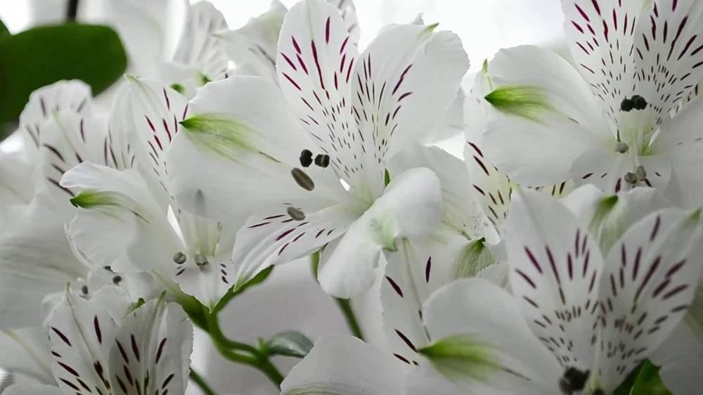 Альстромерия — волшебный цветок инков