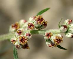 Чернобыльник (полынь обыкновенная): применение травы, полезные, лечебные свойства, противопоказания, где растет