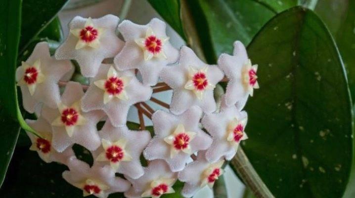 Можно ли держать дома цветок хоя: его фото и правила ухода