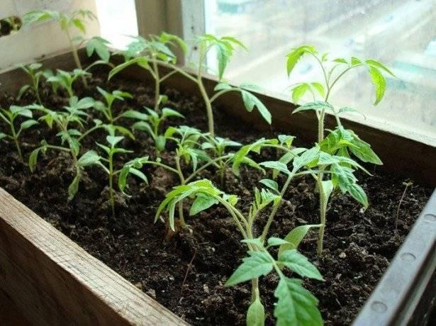 Как вырастить рассаду без земли - огород, сад, балкон - медиаплатформа миртесен