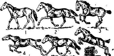 ✅ способы и виды бега лошади (аллюры): шаг, рысь, иноходь, галоп - tehnomir32.ru
