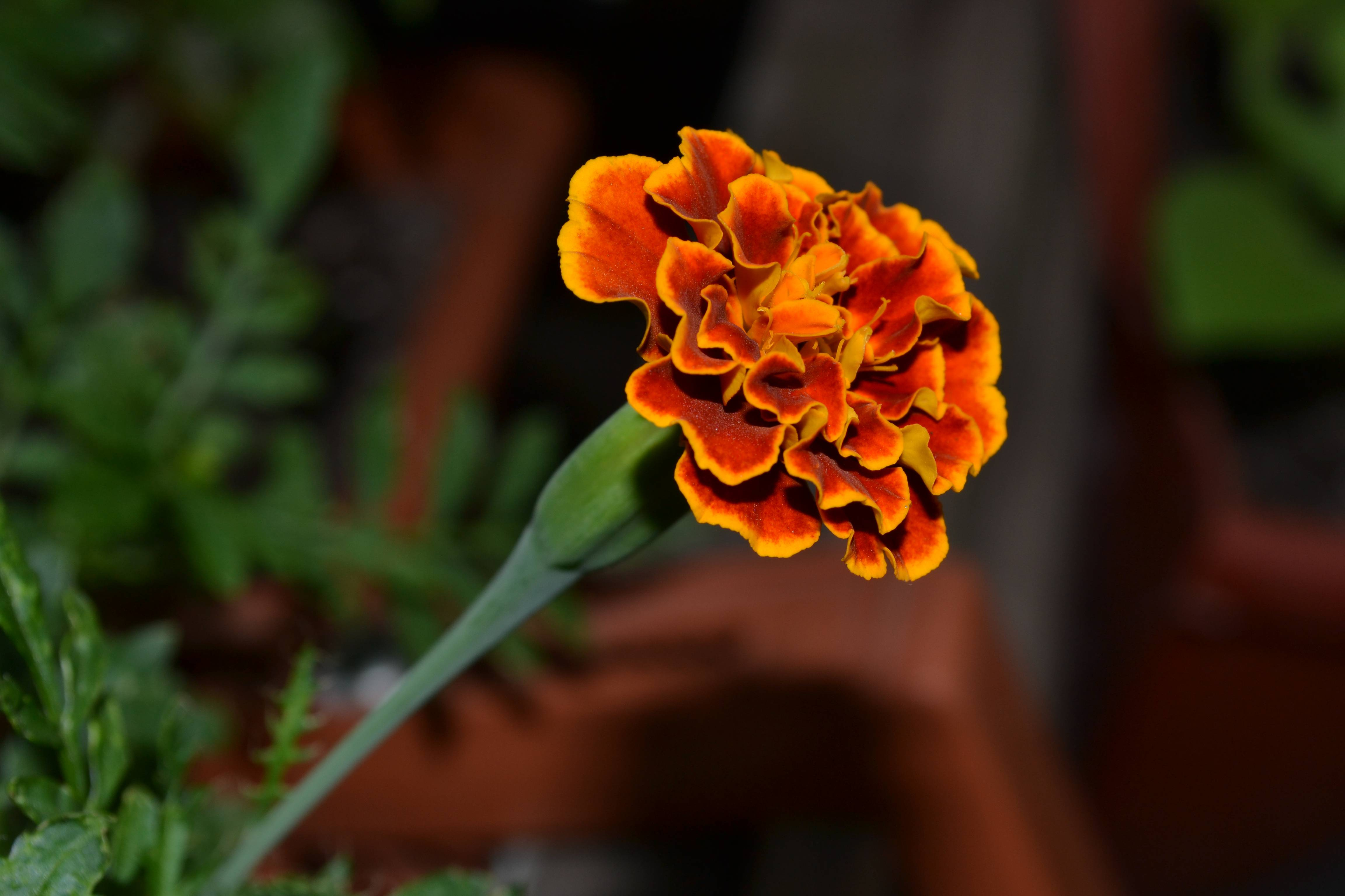 Цветы бархатцы: фото, названия и описание сортов, видео посадки, уход и размножение бархатцев