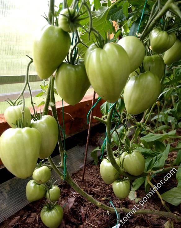 Сладкое чудо уолфорда — как выращивать американский томат. подробное описание и рекомендации садоводов