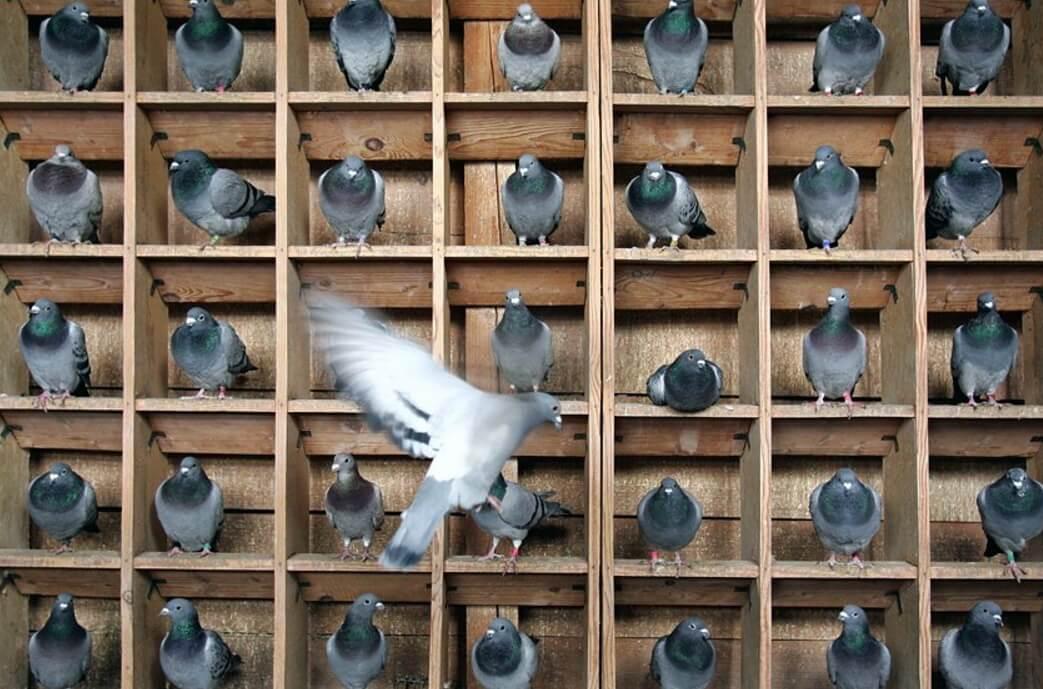 Учимся самостоятельно разводить и содержать голубей