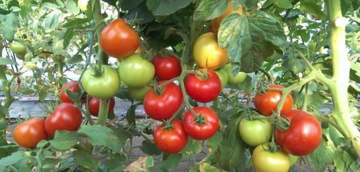 Помидоры белый налив: описание сорта, выращивание и уход за томатами, фото и видео