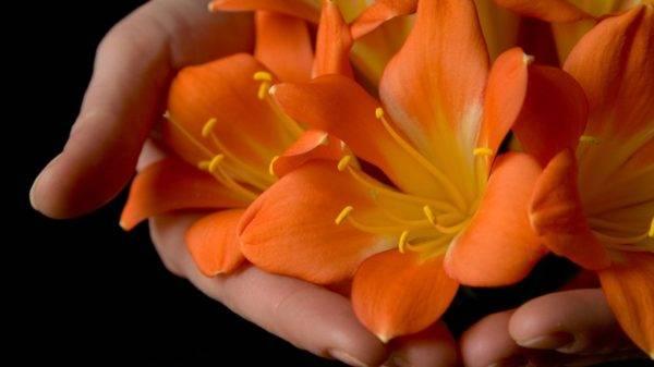 Кливия: описание, фото, размножение и уход в домашних условиях