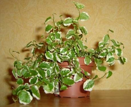 Фикус пумила или карликовый (ficus pumila). уход, размножение дома.   floplants. о комнатных растениях