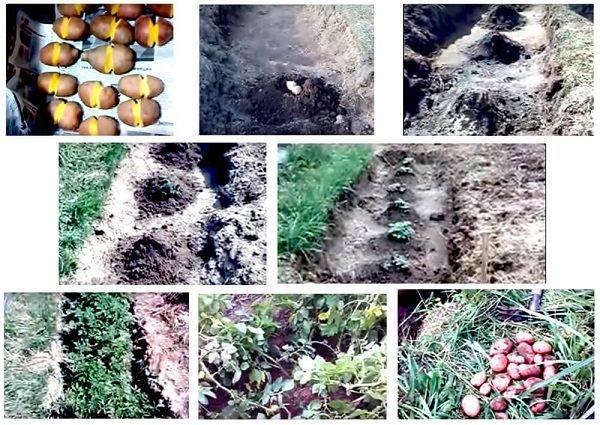 Как получить щедрый урожай картофеля - новые способы посадки, рекомендации по уходу