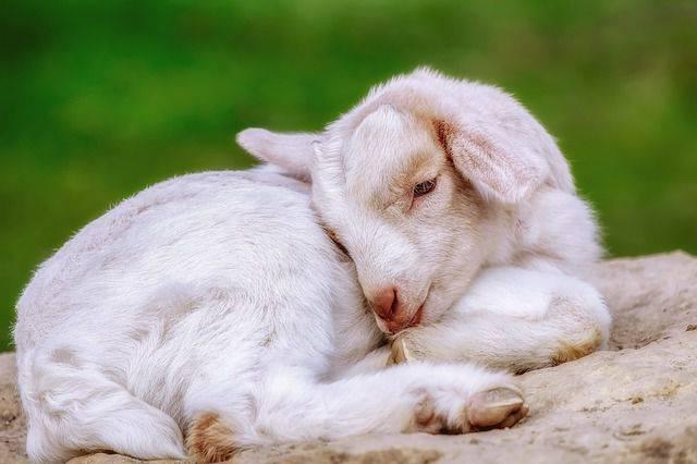 Что делать, если у козы или козленка понос?