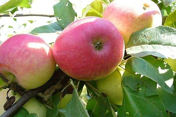 Лучшие сладкие сорта яблок