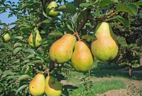 Груша феерия: описание сорта и фото selo.guru — интернет портал о сельском хозяйстве